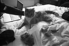 (ニノ Nino) Tags: ilford delta 400 cat cats kitty kittens gato black n white england hadleigh film olympus mju ii