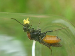 Sawfly with orchid pollenia