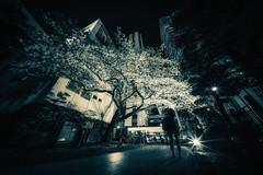 Sakura at Night (hidesax) Tags: sakuraatnight cherry blossoms sakura sakura2018 woman silhouette light skyscrapers hidesax sony a7ii voigtlander 10mm