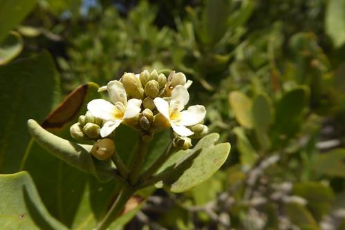 flowers_1, Avicennia germinans