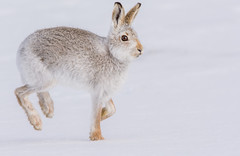JWL5908  Mountain Hare.. (jefflack Wildlife&Nature) Tags: hare mountainhare hares animal animals snow mountain mountains findhorn highlands scotland wildlife moorland moors heathland heaths heather cairngorms countryside nature ngc npc