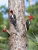 Pica-pau-rei (Campephilus robustus) - Robust Woodpecker bando (Carlos Grupilo) Tags: ef 300l 28 is usm serrinha alambari aves birds birdwatching brasil brazil carlos campephilus robustus grupilo 5d mkiv picapaurei pica pau rei riodejaneiro woodpecker