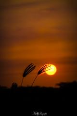 Acariciame... !!! (Nita_Fotos) Tags: sun sundown sunshine sol naranja contraluz backligh planta hierba grass nubes clouds lecheria venezuela tuniñasalvajedelaselva