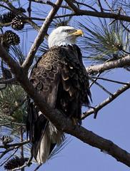 bald eagle bird - Yorktown Virginia (watts_photos) Tags: bald eagle bird yorktown virginia birds eagles nest va york town raptor raptors