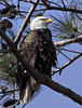 bald eagle bird - Yorktown Virginia (watts_photos) Tags: bald eagle bird yorktown virginia birds eagles nest va york town raptor raptors