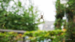 spiderzaan