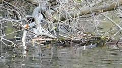 P2030101 grèbe huppé 04 (nid plonge) -Rouillard (jeanchristophelenglet) Tags: verneuilsurseinefranceétangdurouillard grèbehuppé greatcrestedgrebe mergulhãodecrista laceau lakewater lagoagua plonge dip mergulha nid nest ninho