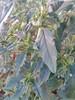 முள்ளுக்கீரை 5 (Amaranthus spinosus ) (Dr.S.Soundarapandian) Tags: tamilnadu india greens leafy thorny edible food plant grey cloth dye famine