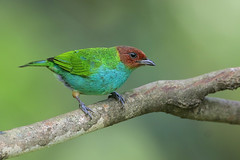 Bay-headed Tanager (Greg Lavaty Photography) Tags: bayheadedtanager tangaragyrola costarica february birdphotography tanager colorful outdoors bird nature wildlife