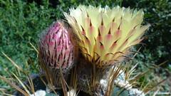 Astrophytum ornatum (armen.cactus) Tags: cactus succulent flower bloom macro astrophytum ornatum
