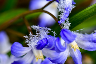 Blue Spring Flowers with Snowflakes