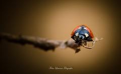 Vértigo (franlaserna) Tags: sigma105 sigma nikon focus nature macro macrophotography lady bug
