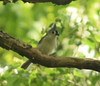 Tufted Titmouse May 2017 (turn off your computer and go outside) Tags: 2017 baeolophusbicolor birdsofminnesotaandwisconsinpage237 carverroehlpark lifebird may rockcountyparksystem tuftedtitmouse wi wisconsin bird clearday critter identified nature outdoors spring springtime
