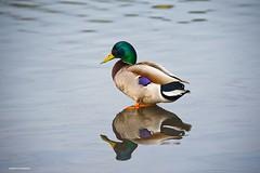 Mallard duck (JSB PHOTOGRAPHS) Tags: jsb3432 mallard duck reflections reflection wildlife pond water altonbakerpark eugeneoregon nikon d3 bokehlicious bokeh 28300mm