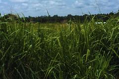 BUSH (cune1) Tags: natura nature africa costadavorio yamoussoukro savana bush paludi swamps erba grass fiori flowers panorama landscape