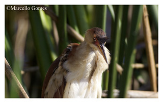 Least Bittern (Ixobrychus exilis) LEBI - Out from Hideout (best seen large)