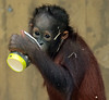 orangutan Sabbar Ouwehands BB2A1407 (j.a.kok) Tags: orangutan orangoetan ouwehands animal aap ape primaat primate sabbar mammal monkey mensaap zoogdier dier asia azie