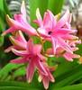 Giacinto  -  Hyacinth (Cristina 63) Tags: europa europe italia italy piemonte piedmont torino turin natura nature fiori flowers giacinto hyacinth fiore flower macro rosa pink verde green