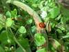 100_8863 (jeanchristophelenglet) Tags: cergyfrance coccinelle ladybug joaninha