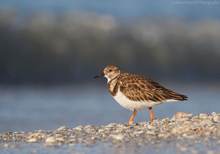 Ruddy Turnstone in morning light