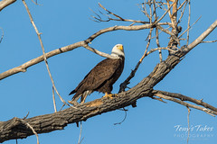 Female Bald Eagle in a neighboring tree