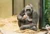 2018-03-19-10h19m26.BL7R0542 (A.J. Haverkamp) Tags: canonef100400mmf4556lisiiusmlens shindy amsterdam noordholland netherlands zoo dierentuin httpwwwartisnl artis thenetherlands gorilla sindy pobrotterdamthenetherlands dob03061985 nl