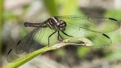 Female Cannaphila vibex (Hagen, 1861) (PriscillaBurcher) Tags: cannaphilavibexhagen1861 cannaphilavibex cannaphila dragonfly narrowwingedskimmers odonata libélula libellulidae laceja colombia priscillaburcher l1550938 ngc