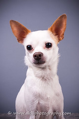 CRT-20180320_Casper-3.JPG (Alfred Kirst III) Tags: akiii photography alfred kirst iii chihuahua rescue transport male ak3photography akiiiphotography alfredkirstiii alienbees dog dogs malechihuahua paulcbuff planopetphotographer texas adoptablepuppies chihuahuarescueandtransport cute cutepuppy femalechihuahua foster fosterdog fosterpuppies plano shorthairchihuahua zukepets zukes