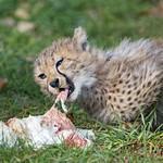 Cheetah cub eating a hen thumbnail