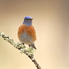 Western Bluebird (anthonylouviere) Tags: bird birding sonbird bluebird westernbluebird newmexico