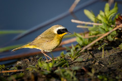 A wichety-wichety-wichety and a flit (Patricia Ware) Tags: california canon commonyellowthroat ef400mmf4doisiiusmlens geothlypistrichas handheld irvine sanjoaquinmarsh ©2018patriciawareallrightsreserved unitedstates us specanimal