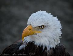American bald eagle (Susan Newgewirtz) Tags: portrait nikon d850 raptor americanbaldeagle closeup canada feathers march 2018