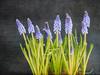 Muscari (maureen bracewell) Tags: blue flowers muscari grapehyacinth texture digitalart maureenbracewell cannon nature spring stilllife