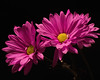 Pink Daisy Pair 0328 (Tjerger) Tags: nature flower flowers bloom blooms blooming daisy daisies plant natural flora floral blackbackground portrait beautiful beauty black wisconsin macro closeup yellow winter pink pair two duo