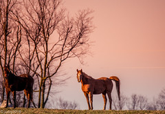 Horses of Kentucky (JuanJ) Tags: nikon d850 lightroom art bokeh nature lens light landscape white green red black pink sky people portrait location architecture building city iphone iphoneography square squareformat instagramapp shot awesome supershot beauty cute new flickr amazing photo photograph fav favorite favs picture me explore interestingness wedding party family travel friend friends vacation beach horse farm grass animal kentucky bluegrass fayette county 2018 march thoroughbred tamron