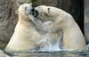 polarbear Blijdorp BB2A7356 (j.a.kok) Tags: polarbear bear beer ijsbeer ursusmaritimus predator animal blijdorp mammal zoogdier dier noordpool northpole arctic