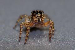 La Pequeña Araña (Roberto Segura) Tags: spider macro closeup costarica pentax pentaxart pentaxlife ks2