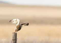 Short-eared Owl Takeoff 2 of 4 (m_Summers) Tags: buho spring greatsaltlake owl nature shortearedowl marksummers wildbird wild wildlife flight seo bif utah outdoors nonbaited asioflammeus birdinflight birdofprey bird