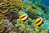 Red Sea bannerfishes (antony5112) Tags: redsea bannerfish sub scuba diving sharmelsheikh