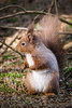 (W4115y) Tags: ianwalls ian ianwallsphotography nikon nikond3200 d3200 3200 w4115y wildlife squirrel red redsquirrel woodland animal animals yorkshire northeast