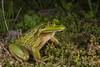Growling Grass Frog (R. Francis) Tags: growlinggrassfrog litoriaraniformis ranoidearaniformis ryanfrancis ryanfrancisphotography tasmania montana meandervalley meander