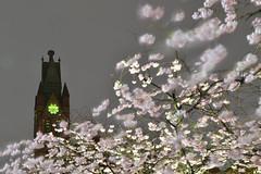 City Blossom (Apionid) Tags: birmingham cherryblossom ikon gasstreetbasin nikond7000 ikongallery