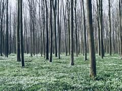 DSC03416 (bert.depoorter) Tags: belgium brussels hallerbos white trees bomen boom tree flowers bloemen wit green groen