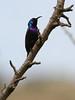 Palestine Sunbird (Wild Chroma) Tags: cinnyris osea cinnyrisosea sunbird jordan birds passerines wadi dana wadidana