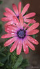 IMG_1673 (Aaron Burrows Photography) Tags: osteospermum africandaisy pinkflower flowerswithwaterdroplets flowerwithraindrops raindrop waterdroplets waterdrop waterdrops