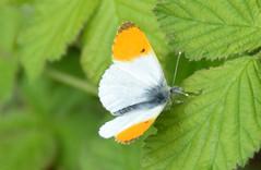 Orange Tip (m), Saltram Park, Devon (Abhurite) Tags: