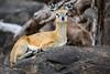 Klipspringer (mayekarulhas) Tags: krugerpark mpumalanga southafrica za klipspringer animal africa antilope canon wildlife wild