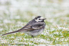 Pied Wagtail (ian._harris) Tags: nikon naturaleza nature march 500mmf45 d7200 sigma garden