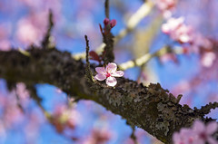 Spring cherry blossoms (s.d.sea) Tags: spring cherry blossoms flowers flower floral pink sunshine sun blue sky tree trees branches bloom blossom grow nature plant plants pnw pacificnorthwest washington washingtonstate seattle eastside kirkland pentax k5iis soft focus