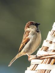 European tree sparrow / Feldsperling (Passer montanus) (ralph_behrens) Tags: 2018 deutschland germany mzuiko300mmf4pro m43 mft microfourthirds nrw nordrheinwestfalen omd omdem1markii oly olympus ralphbehrens uphausen winter minden de europeantreesparrow feldsperling passermontanus